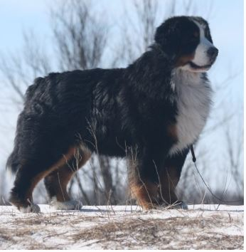 Piedmont Bernese Mountain Dog Club Bernese Mountain Dog South